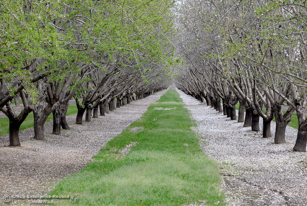 . Almond blossoms lie on the ground in this well groomed orchard seen along River Road in Chico, Calif. Friday March 9, 2018. (Bill Husa -- Enterprise-Record)