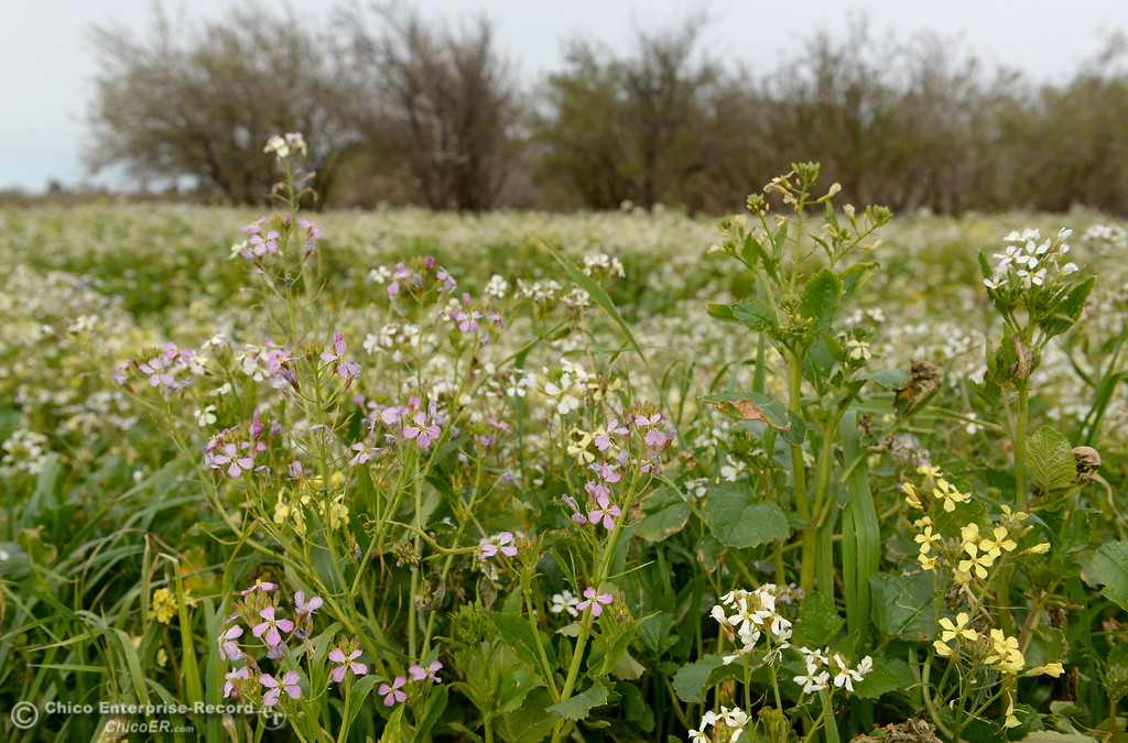 . Bees buzz near wildflowers seen beside an orchard along Chico River Road in Chico, Calif. Friday March 9, 2018. (Bill Husa -- Enterprise-Record)