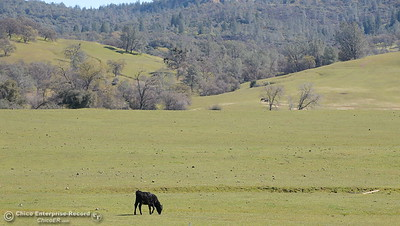 A happy California cow enjoys a green pasture along seen along Durham Pentz Road Monday March 5, 2018. (Bill Husa -- Enterprise-Record)