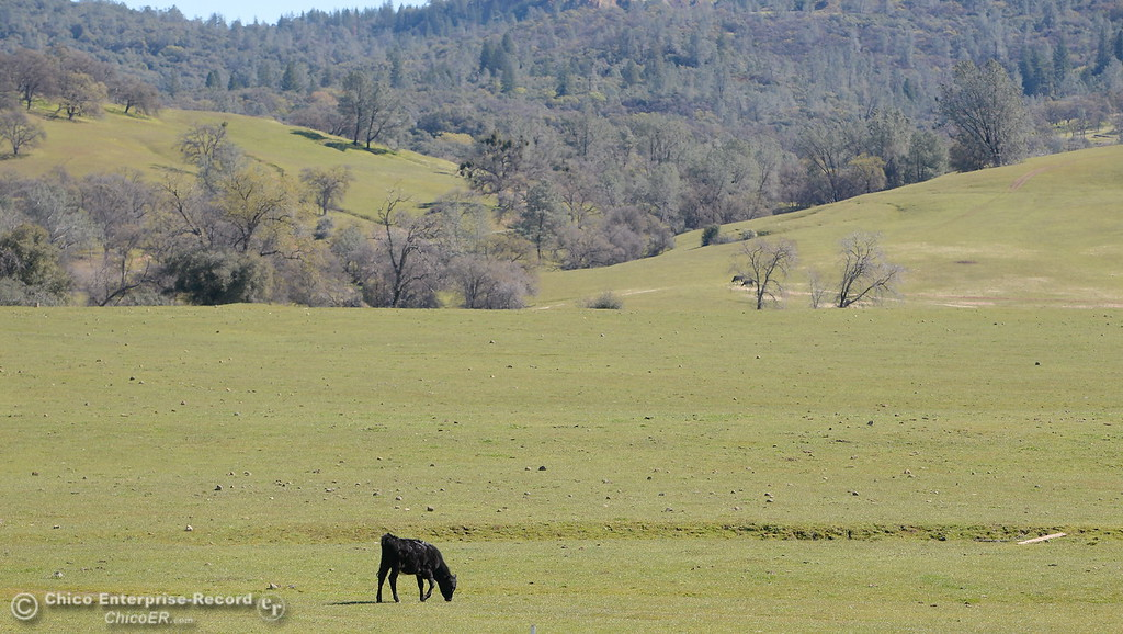 . A happy California cow enjoys a green pasture along seen along Durham Pentz Road Monday March 5, 2018. (Bill Husa -- Enterprise-Record)
