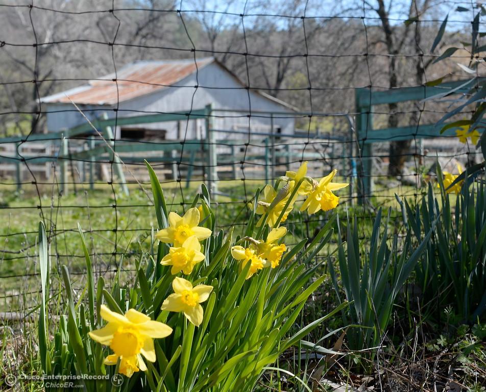 . Daffodills bloom near an old barn seen along Table Mountain Blvd. Monday March 5, 2018. (Bill Husa -- Enterprise-Record)