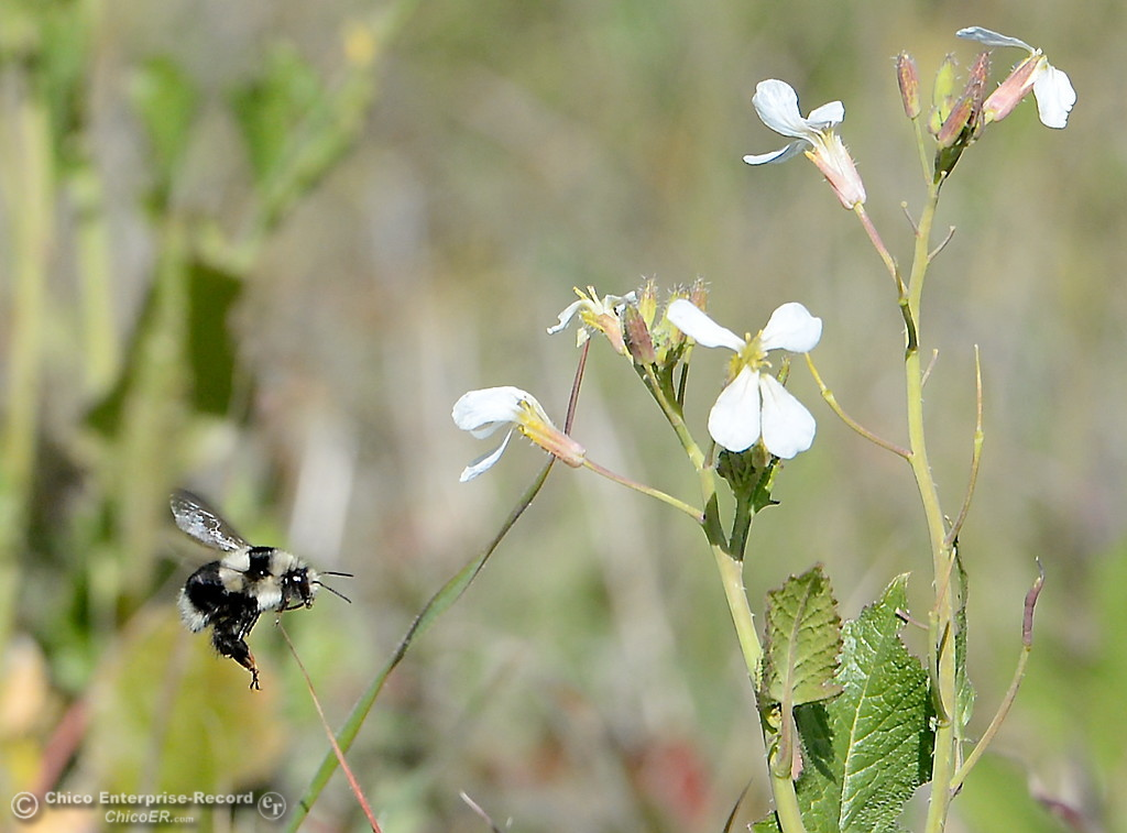 . A bumble bee buzzes around wildflowers along Durham Pentz Road Monday March 5, 2018. (Bill Husa -- Enterprise-Record)