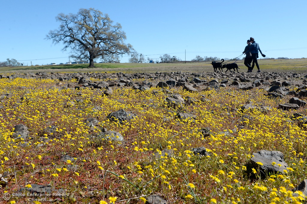 . Hikers Brenon Odell and Miranda Weir of Chico take dogs Bronson and Ava out for a stroll through the wildflowers that are just beginning to bloom on Table Mountain Monday March 5, 2018. Hikers 16-years or older are now required to have a Lands Pass or valid hunting or fishing license. (Bill Husa -- Enterprise-Record)