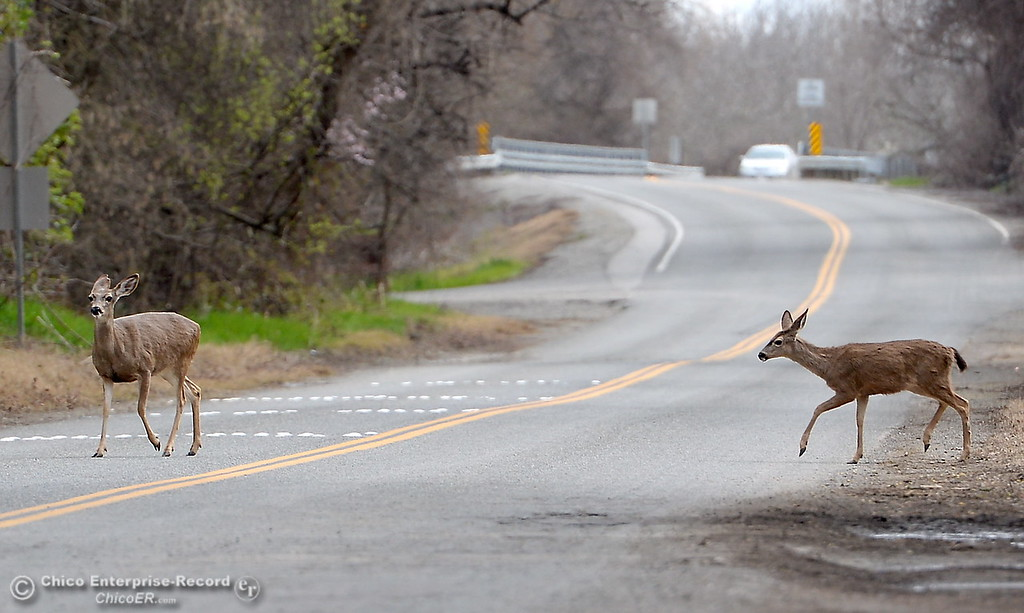 . Deer Crossing-  A couple of does cross River Road in Chico, Calif. Friday March 9, 2018. (Bill Husa -- Enterprise-Record)
