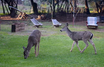 Deer graze on a freshly mowed lawn in Paradise, Calif. Sunday March 5, 2017. (Bill Husa -- Enterprise-Record)
