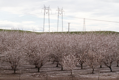 Almond trees blossom and bees buzz around the flowers February 21, 2017 in Durham, California. (Emily Bertolino -- Enterprise-Record)