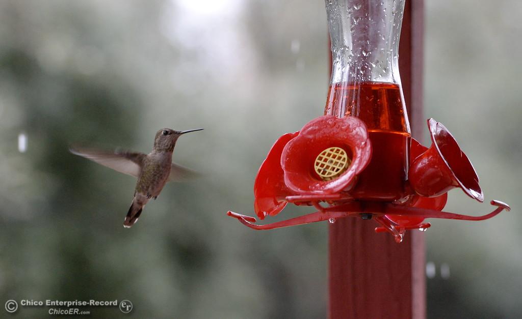. Rain or not, a bird\'s gotta eat-   A hummingbird visits a feeder as the rain comes down in Paradise, Calif. Tues. March 13, 2018.  (Bill Husa -- Enterprise-Record)