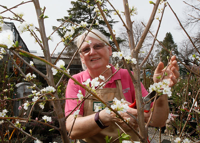 Jean Miller prunes a plum tree March 13, 2017 at TJ's Nursery in Chico, California. (Emily Bertolino -- Enterprise-Record)