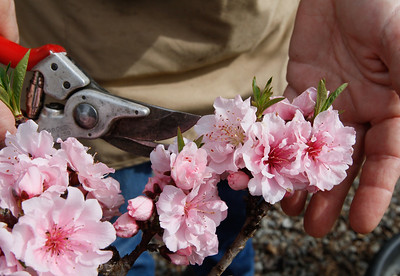 Jean Miller holds peach blossoms as she talks about pruning March 13, 2017 at TJ's Nursery in Chico, California. (Emily Bertolino -- Enterprise-Record)