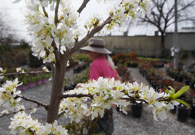A flowering plum tree March 13, 2017 at TJ's Nursery in Chico, California. (Emily Bertolino -- Enterprise-Record)
