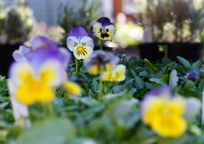 Pansies are a nice plant to bring color to late winter because they are hearty in cool weather March 8, 2017 in Chico, California. (Emily Bertolino -- Enterprise-Record)