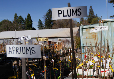 Bare root fruit trees March 13, 2017 at Mendon's Nursery in Paradise, California. (Emily Bertolino -- Enterprise-Record)