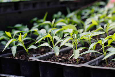 Pepper seedlings March 8, 2017 at the Plant Barn & Gift Shop in Chico, California. (Emily Bertolino -- Enterprise-Record)