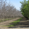 This time of year you can tell the difference between walnuts and almonds because the almonds bloom and grow leaves earlier than walnuts. This orchard is near Road P in Glenn County, Tuesday, March 15, 2016. (Heather Hacking-Enterprise-Record).