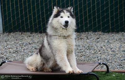 Jasper joyfully sits outside of Northwest SPCA, Friday, March 2, 2018, in Oroville, California. (Carin Dorghalli -- Enterprise-Record)