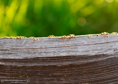 A line of ants marches across an old fence rail Tuesday, Feb. 27, 2018, in upper Bidwell Park in Chico, California. (Dan Reidel -- Enterprise-Record)