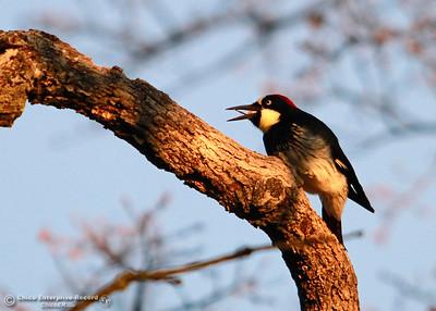 A woodpecker pulls a snack from a tree branch Tuesday, Feb. 27, 2018, in upper Bidwell Park in Chico, California. (Dan Reidel -- Enterprise-Record)