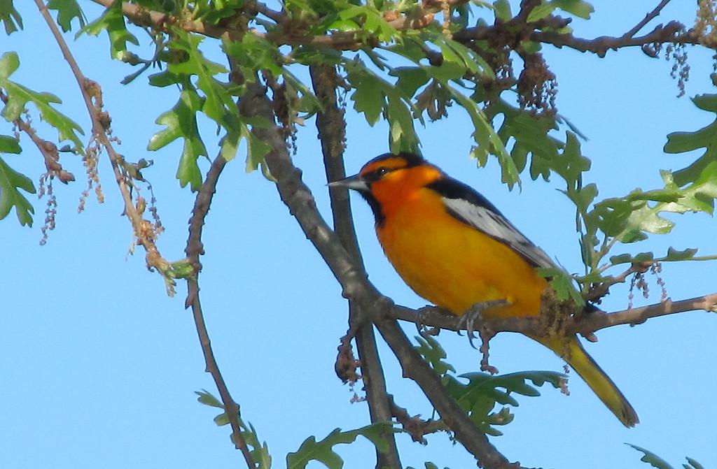 . A yellow bird sits in a tree near the Woodson Bridge State Recreation Area Saturday April 8, 2017. (Bill Husa Photo)