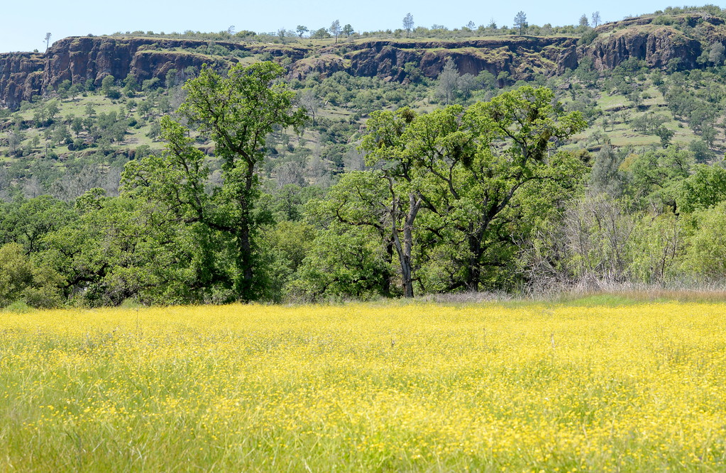 . Yellow wildflowers cover a meadow in Butte Creek Canyon Monday April 10, 2017.  (Bill Husa -- Enterprise-Record)