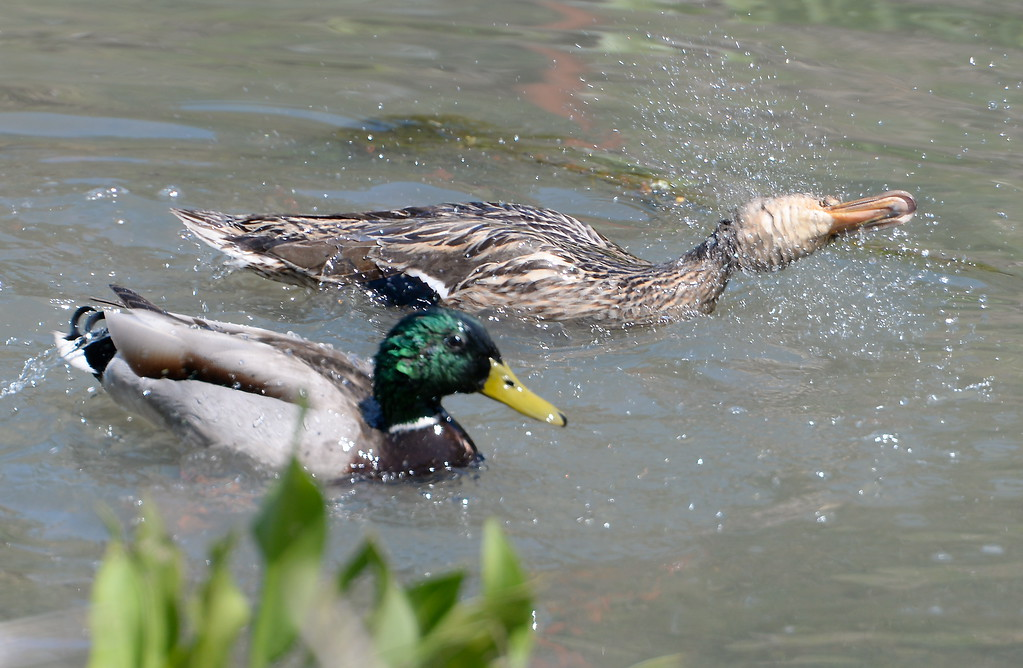 . Are you a dog or a duck? A duck shakes water off of its head Friday April 14, 2017.  (Bill Husa -- Enterprise-Record)