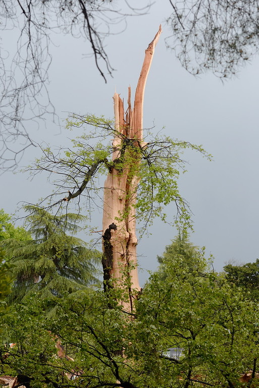 . A tree near Bidwell Mansion was struck by lighting splattering over 15 vehicles with pieces of wood during a thunderstorm in Chico, Calif. Thurs. April 13, 2017. (Bill Husa -- Enterprise-Record)