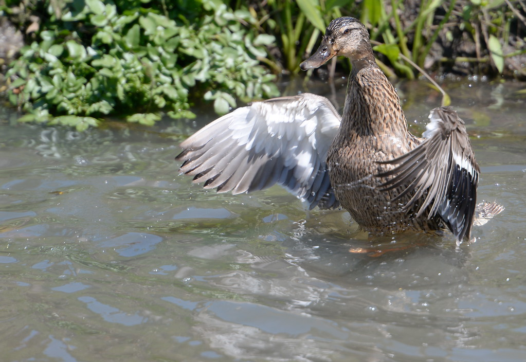 . A duck hangs out in a drainage ditch near Park Ave. in Chico, Calif. Friday April 14, 2017.  (Bill Husa -- Enterprise-Record)