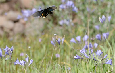 A butterfly flutters from flower to flower in Upper Bidwell Park in Chico, Calif. Monday April 10, 2017.(Bill Husa -- Enterprise-Record)