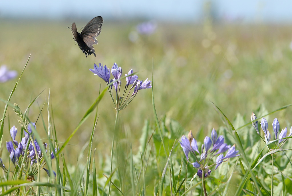 . A butterfly flutters from flower to flower in Upper Bidwell Park in Chico, Calif. Monday April 10, 2017.(Bill Husa -- Enterprise-Record)