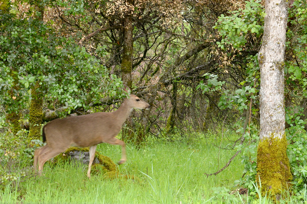 . A deer doesn\'t seem to mind the rain as it walks through the trees near the Forever Resorts Limesaddle Marina Tuesday April 11, 2017. (Bill Husa -- Enterprise-Record)
