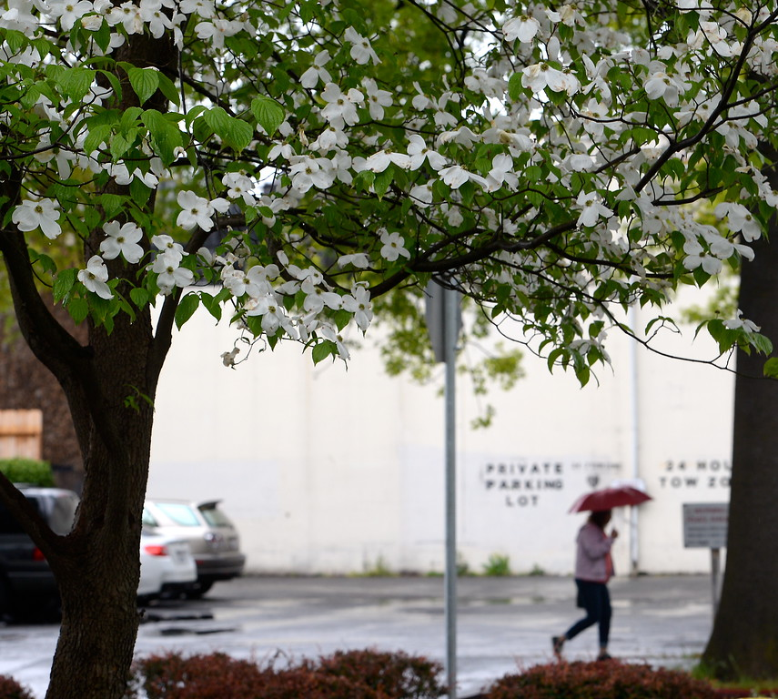 . A person walks through the rain with an umbrella along Wall St. past a flowering tree as the rain comes down in Chico, Calif. Monday April 16, 2018. (Bill Husa -- Enterprise-Record)