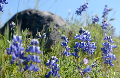 Wildflowers bloom near Monkey Face rock in Upper Bidwell Park, Chico, Calif. Tues. March 28, 2017. (Bill Husa -- Enterprise-Record)