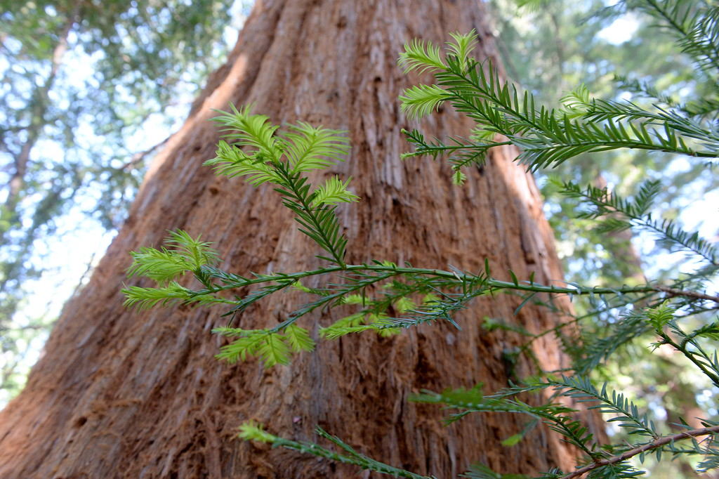 . Redwood Trees in Bidwell Park showing signs of new growth in Chico, Calif. Monday April 23, 2018. (Bill Husa -- Enterprise-Record)