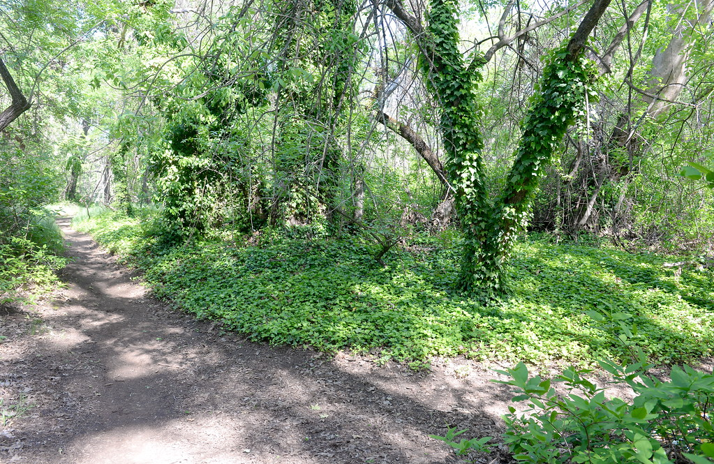 . There is lots of lush greenery to be found throughout Bidwell Park in Chico, Calif. Monday April 23, 2018. (Bill Husa -- Enterprise-Record)