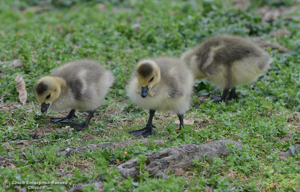. Ducklings, April 5, 2018, in Chico, California. (Carin Dorghalli -- Enterprise-Record)