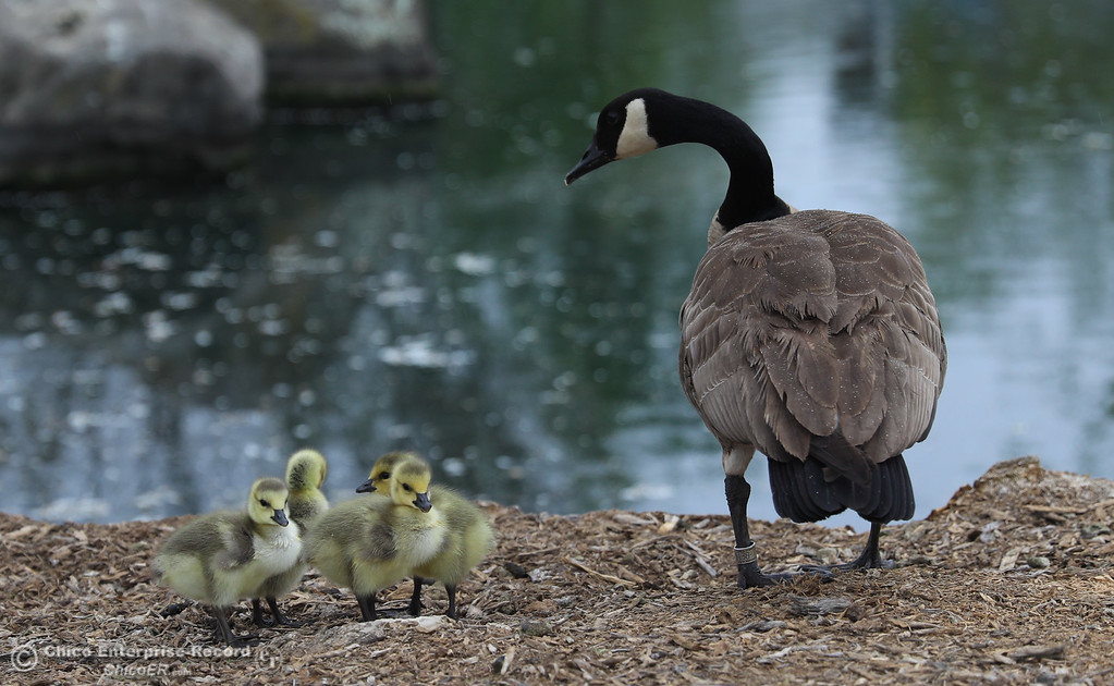 . Ducklings follow their mother by the lake next to Enloe Outpatient Center, April 5, 2018, in Chico, California. (Carin Dorghalli -- Enterprise-Record)