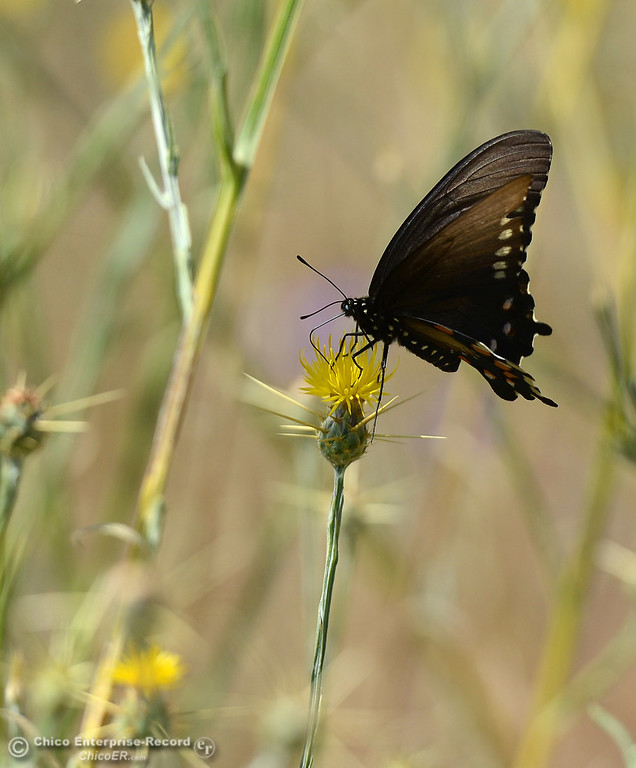 . A butterfly drinks form a star thistle Friday, May 26, 2017, in upper Bidwell Park in Chico, California.  (Dan Reidel -- Enterprise-Record)