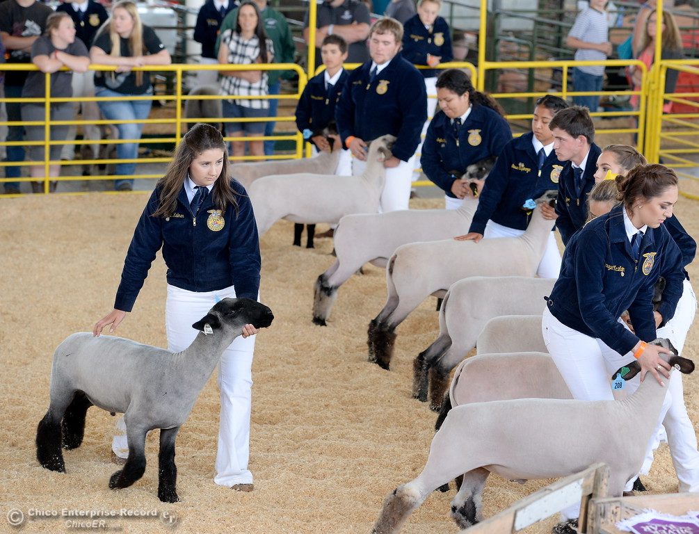 . Sheep are judged in the show ring at the Silver Dollar Fair in Chico, Calif. Thurs. May 25, 2017. (Bill Husa -- Enterprise-Record)