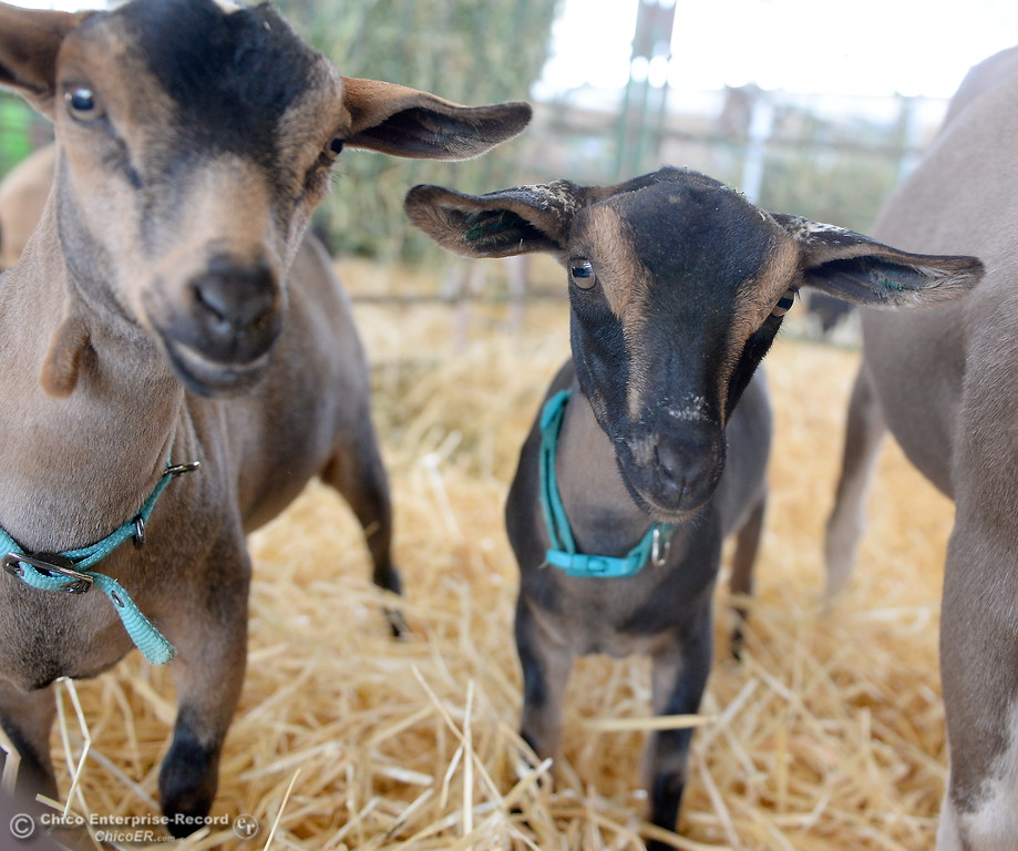 . Adorable goats look for a hand to pet them at the Silver Dollar Fair Tues. May 23, 2017. (Bill Husa -- Enterprise-Record)