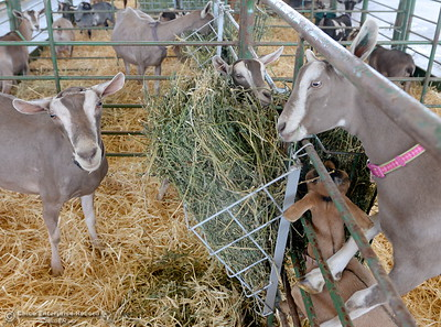 Adorable goats look for a hand to pet them at the Silver Dollar Fair Tues. May 23, 2017. (Bill Husa -- Enterprise-Record)