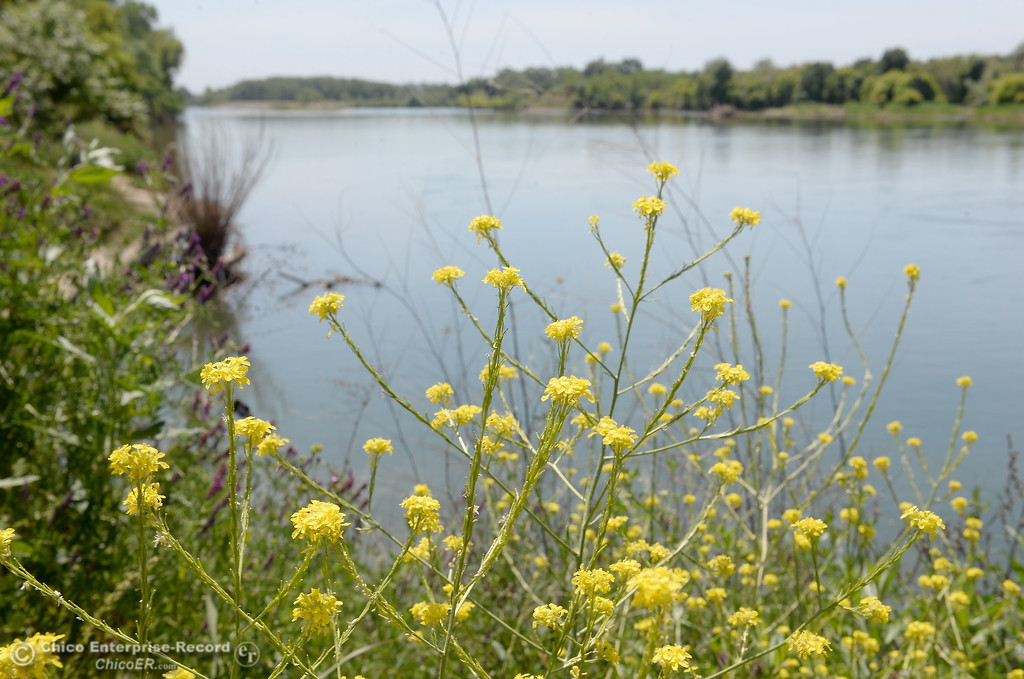 . Yellow flowers bloom along the banks of the Sacramento River in Chico, Calif. Friday May 4, 2018. (Bill Husa -- Enterprise-Record)