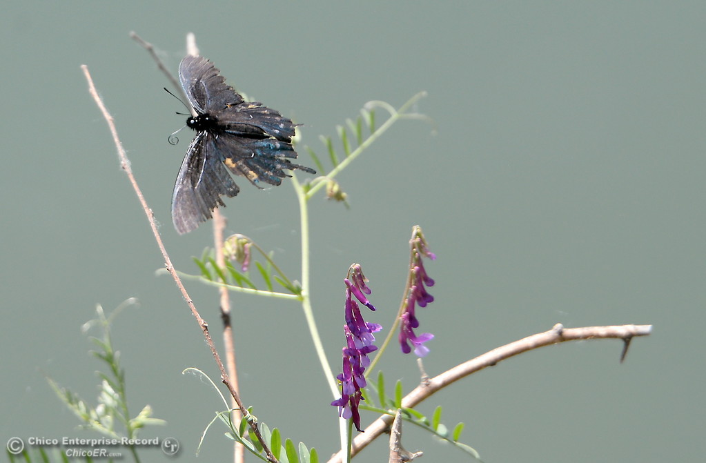 . A butterfly flutters from flower to flower along the banks of the Sacramento River in Chico, Calif. Friday May 4, 2018. (Bill Husa -- Enterprise-Record)