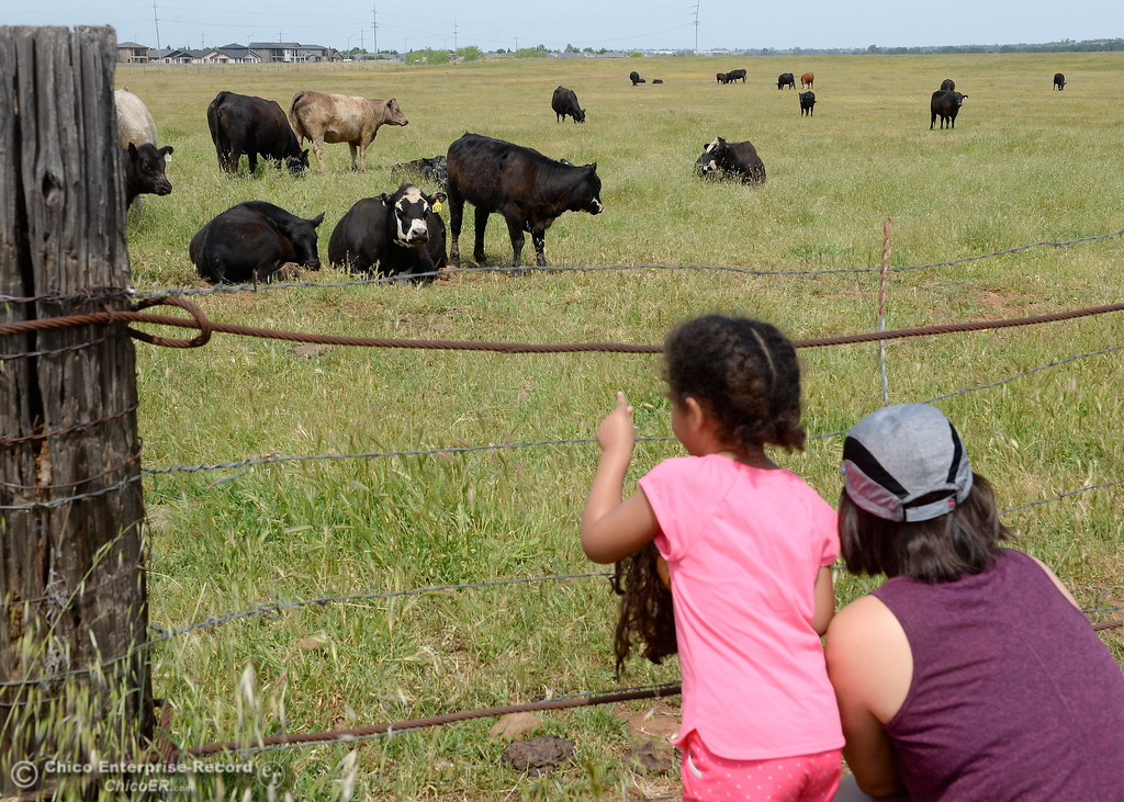 . Emily Ruggle of Chico along with her 3-year-old daughter Sophia stop to check out some cattle in a field beside Wildwood Park in Upper Bidwell Park in Chico, Calif. Friday May 4, 2018. (Bill Husa -- Enterprise-Record)
