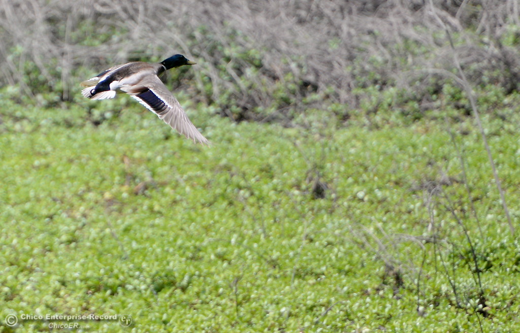 . A duck is seen flying while walking along the Indian Fishery Nature Trail in Chico, Calif. Friday May 4, 2018. (Bill Husa -- Enterprise-Record)