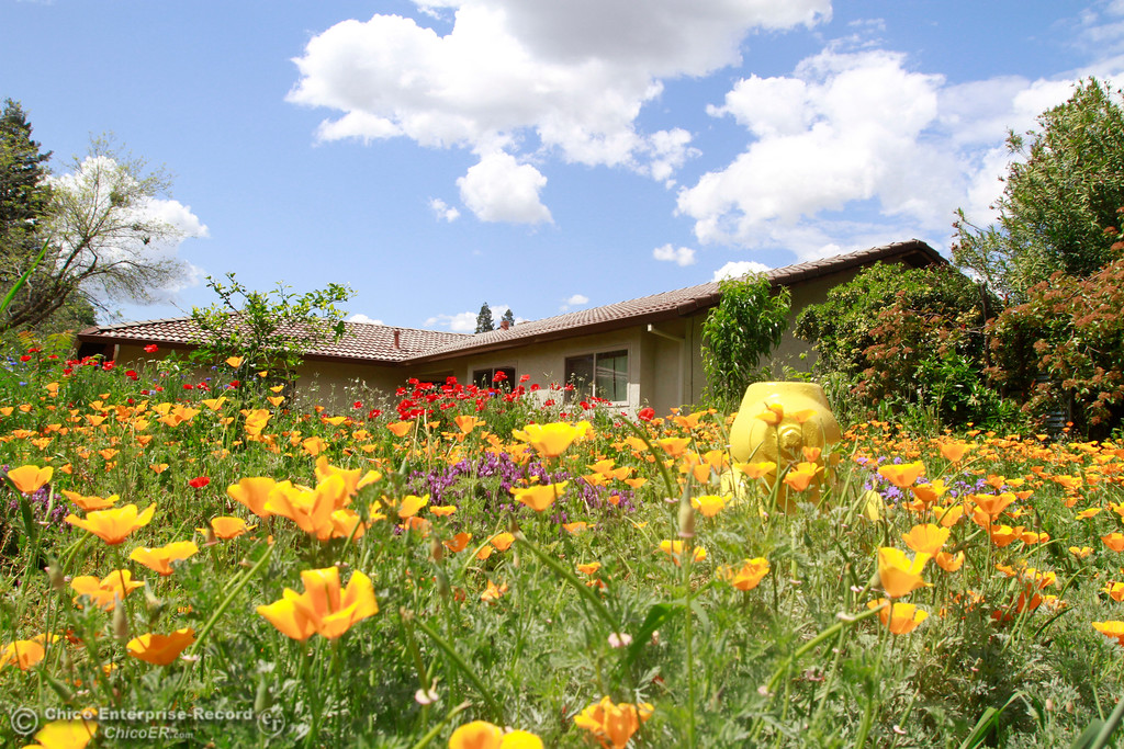 . Wildflowers bloom Monday, April 30,2018, in a yard on Modoc Drive in Chico, California. (Dan Reidel -- Enterprise-Record)