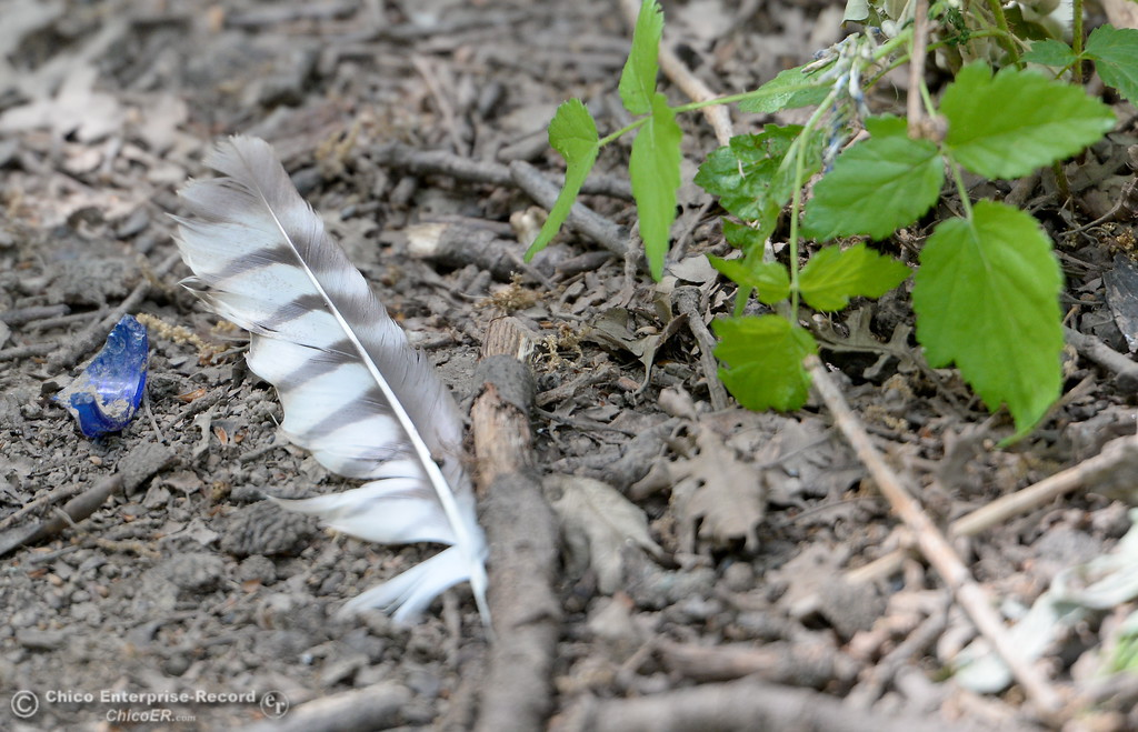 . A feather is seen along the Indian Fishery Nature Trail in Chico, Calif. Friday May 4, 2018. (Bill Husa -- Enterprise-Record)