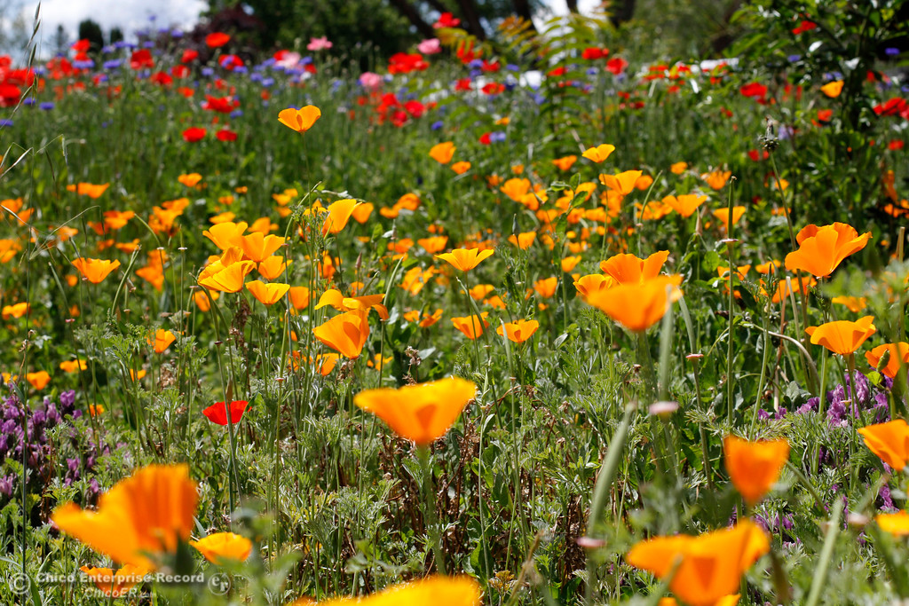 . Wildflowers bloom Monday, April 30,2018, in a yard on Modoc Drive in Chico, California. (Dan Reidel -- Enterprise-Record)