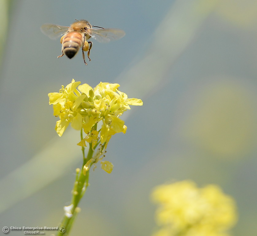 . A bee buzzes around yellow flowers blooming along the banks of the Sacramento River in Chico, Calif. Friday May 4, 2018. (Bill Husa -- Enterprise-Record)