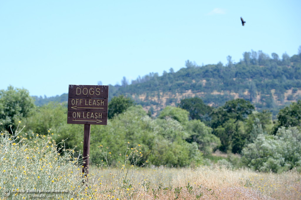 . A vulture hovers above a dog leash sign in Upper Bidwell Park in Chico, Calif. Tues. June 13, 2017. The idea of a linked, non-motorized trail system in California has been discussed for years, but the idea gained momentum last month during a firety-ever conference held in Chico.(Bill Husa -- Enterprise-Record)