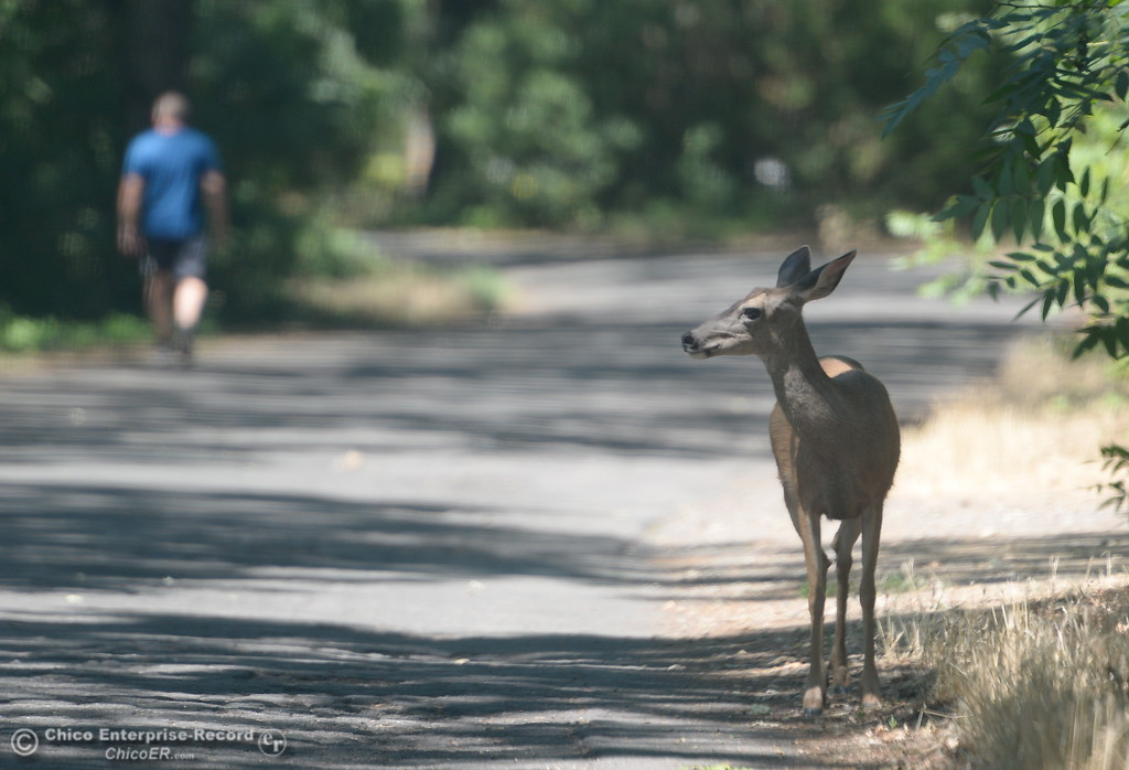 . Welcome to my park-  A deer calmly stands along the side of the road through Lower Bidwell Park while hikers and bikers pass by as temps reach triple digits again today in Chico, Calif. Thurs. June 22, 2017.  (Bill Husa -- Enterprise-Record)