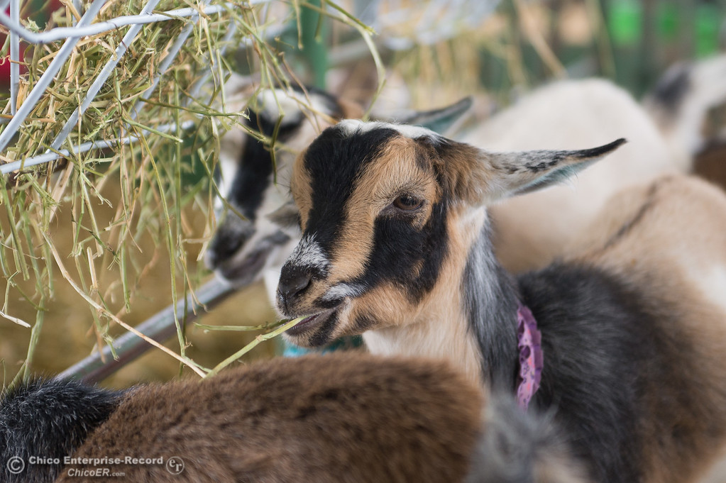 . A goat eat hay during the Junior Livestock Auction, May 26, 2018,  in Chico, California. (Carin Dorghalli -- Enterprise-Record)